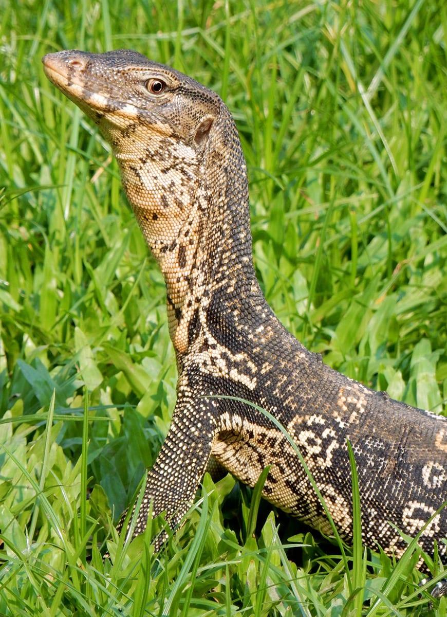 Bangkok, Thailand: Lumpini park monitor lizard